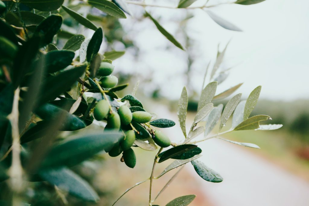 The Many Benefits of Olive Leaf